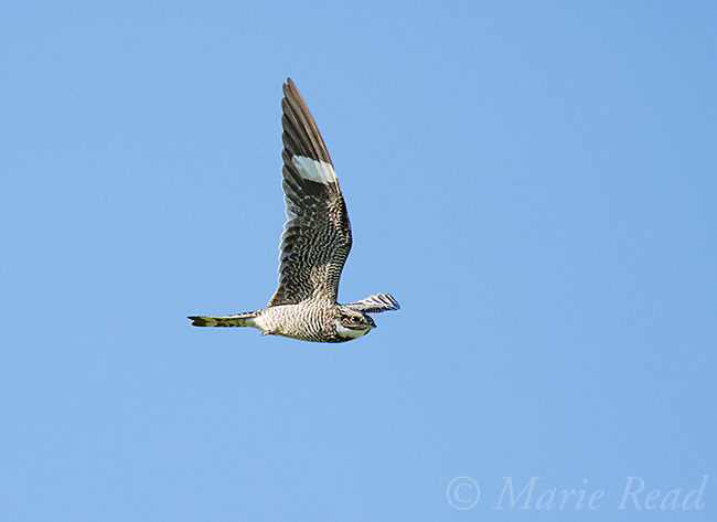 Common Nighthawk (Chordeiles minor) male in flight, Bowdoin National Wildlife Refuge, Montana, USA