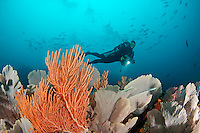 Alcyonacea, Gorgonian, Riff mit Gorgonien und Taucher auf Coiba, Panama, coralreef and scuba diver with seafans at Coiba, Panama, Coiba, Panama, Ost Pazifik, East Pacific Ocean, MR Yes