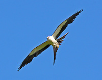 Swallow-tailed kite. Note the small feet indicative of the insect and lizard prey of these birds.