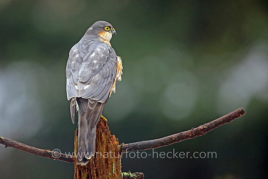 Sperber, Männchen, Terzel, Accipiter nisus, northern sparrowhawk, sparrow hawk, male, Épervier d'Europe