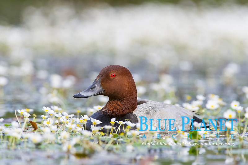 common pochard, Aythya ferina, adult male, in a swamp with wildflowers in La Dombes, Ain, France, Europe