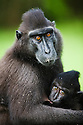 Female crested black macaque nursing baby in burn-slashed area near village, (Macaca nigra), Indonesia, Sulawesi, endangered species, threatened through loss of habitat and bush meat trade, species only occurs on Sulawesi.