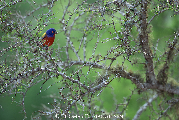Painted bunting perched among thorny branches in South Texas.