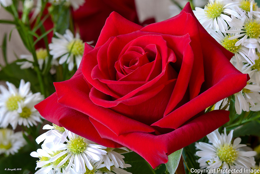 Luscious Red Rose, Anniversary Flowers, Birthday Flowers, Bright Red Rose, Stacked Photography, Macro Photography,<br />