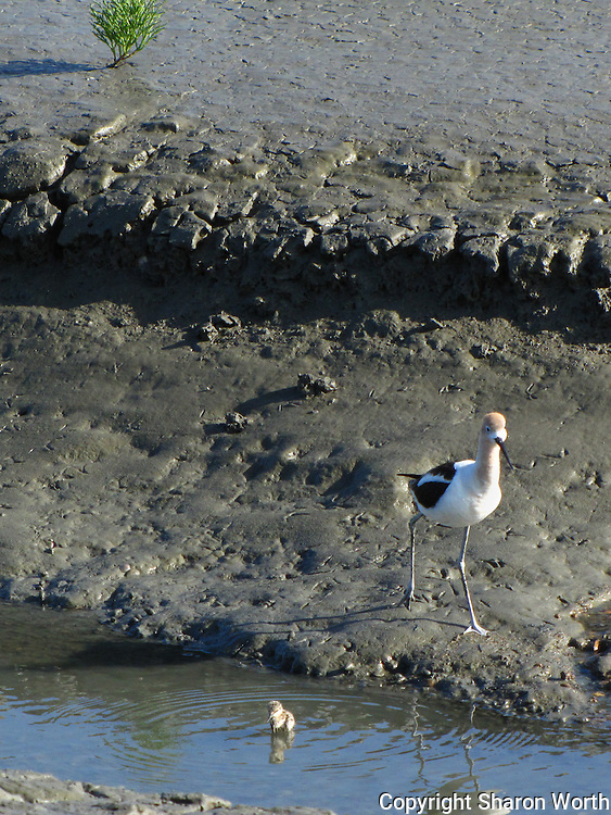 An adult avocet looks on as its young gets accustomed to the water.