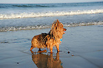 Yorkshire Terrier Enjoying the Surf at Beach in Maine, USA