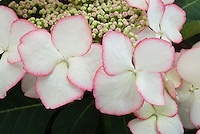 Picotee white with pink edge lacecap Hydrangea macrophylla 'Love You Kiss' closeup of summer blooms