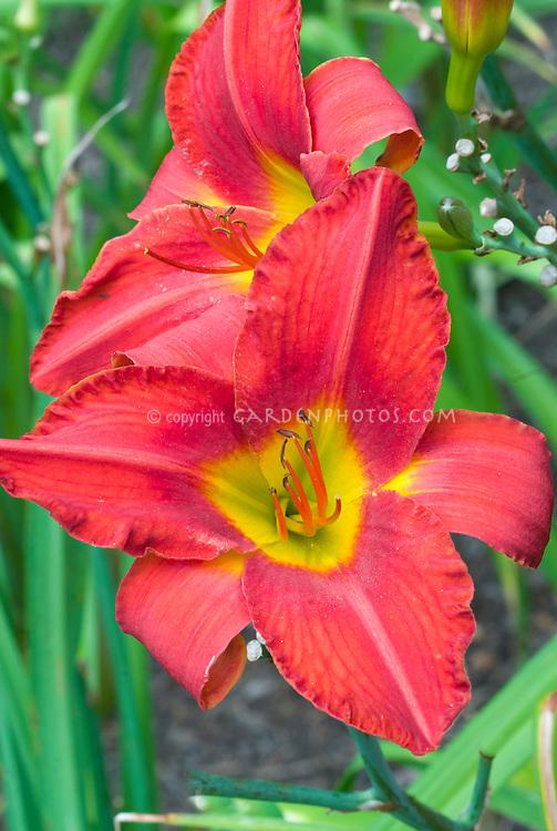 Hemerocallis 'Hey There' red ruffled daylily flowers, tetraploid