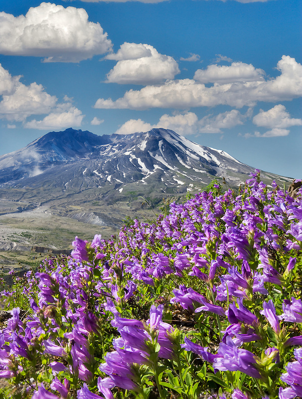 Purple Penstenon and Mt. St. Helens, Washington (A sky has been added)