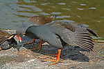 """Dusky Moorhens preening, Mt Coot-tha Botanic Gardens, Brisbane, Australia.  //  Dusky Moorhen - Rallidae: Gallinula tenebrosa. Length to 40cm, wingspan to 65cm; weight to 350g.  Occurs mainly in freshwater lakes, ponds, billabongs in Australia, New Guinea and Indonesia. Juvenile plumage is browner than that of adults. Note the characteristic white under-tail coverts of the sitting bird on the left. Feeds principally on floating and shallow submerged vegetation - algae, water-lily fragments, etc, and a variety of smaller invertebrates. Probably pairs for life, and individual pairs frequently engage in pair-bonding behavoiur, such as preening. Flies well, usually close to water surface, but prefers to swim most of thetime. A vociferous species with loud nasal 'karrak', 'ngairrr"""", etc. Common in suburban parks and wetlands where it builds a large nestout of aquatic vegetation, usually on the shoreline, an emergent rock, or timber.  Defends territory vigourously when breeding with frequent loud squabbling against intruders. IUCN Status: Least Concern.   //  Mt Coot-tha Botanic Gardens - Administered by the Brisbane City Council, and one of the two botanic gardens close to the city centre. Covers 52Ha (115acres) with extensive plantings of exotic species, including the rare Wollemi Pine (Araucariaceae: Wollemia nobilis - IUCN Status: Critically Endangered), a relict survivor from 200 million years ago in southern Gondwanaland. Display gardens include a Japanese Garden, Arid Zone Garden, Bonsai House; as well as the Sir Thomas Brisbane Planetarium, that hosts education displays for schools, and the general public. Much of the gardens still have original forest habitats, and two artificial lakes attract a variety of waterbirds.  //  Dr Eric Lindgren//"""