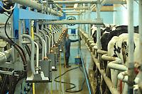 Milking Holstein cows in a milking parlour