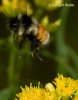 BU06-501z  Bumblebee worker collecting pollen and nectar, Red -tailed Bumblebee flying away from flower, Bombus ternarius