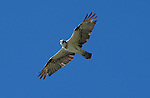 Osprey-Pandion haliatus