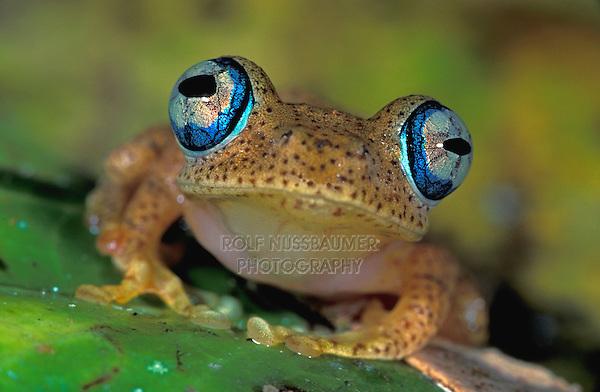 Dumeril's Bright-eyed Frog (Boophis tephraeomystax), adult, Andasibe-Mantadia National Park, Madagascar