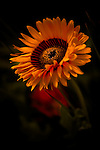 """A close-up of a gazania, also know as the """"treasure flower""""."""