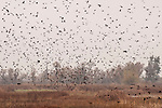 Flock of Red-winged Blackbirds (Agelalius phoeniceus) in the Yolo Bypass Wildlife Area, California
