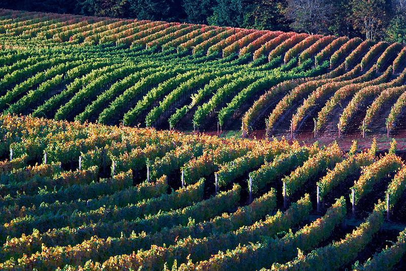 Sokol Blosser Vineyards in fall color. Oregon