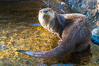 River Otter (Lutra canadensis or Lontra canadensis) (c) On display at the High Desert Museum in Bend, OR.