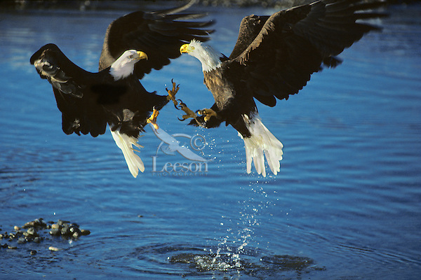 Bald eagles fighting (Haliaeetus leucocephalus) over spawned out salmon on Northwest river.  November.