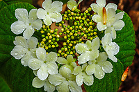 Witch Hobble In bloom (Viburnum lantanoides) In the Adirondack Mountains of New York State