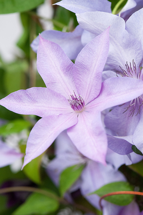 Clematis 'Moonfleet', early July. A late large-flowered clematis with lilac-pink flowers maturing to pale blue.