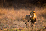 African Lion (Panthera leo) six year old male in savanna, Kafue National Park, Zambia