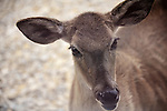 Curious white tail doe in Kerrville Texas.
