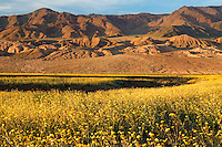 Fields of hairy desert sunflower, in Death Valley often called desert gold (Geraea canescens), and the Owlshead Mountain from Harry Wade Road, near Ashford Mill, Death Valley National Park, California