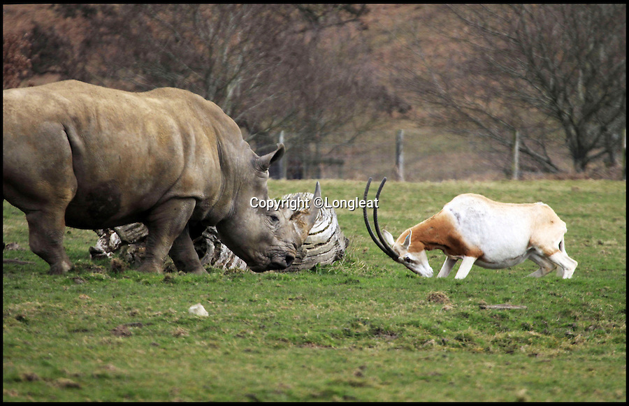 BNPS.co.uk (01202 558833)<br /> Pic: Longleat/BNPS<br /> <br /> *Please use full byline*<br /> <br /> Little and Large show...<br /> <br /> The curious Rhino decides to retreat...<br /> <br /> This plucky mother antelope ignores the golden rule of 'pick on someone your own size' and squares up to a whopping rhinoceros in a bizarre stand-off.<br /> <br /> The brave mum refused to back down when the three-tonne beast came a little too close to her newborn calf - and at one point even clashed horns with it.<br /> <br /> The protective mother antelope, called Ramina, kept her days-old baby Phoenix behind her at all times as she valiantly charged at the massive rhino, called Njanu, despite it being 15 times heavier.<br /> <br /> The unlikely scene was caught on camera by staff at Longleat Safari Park in Wilts.
