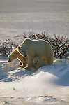 A polar bear mother with her two cubs in Churchill, Manitoba, Canada.