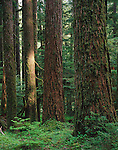 Olympic National Park, WA: Western Hemlocks (Tsuga heterophylla) in an old growth forest in Upper Soleduck Valley