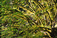 Vine maples with moss & lichen covered branches in Sol Duc Forest, Olympic National Park