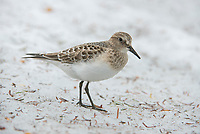 Juvenile Baird's Sandpiper (Calidris bairdii) feeding on ice worms on in a mountain snow field. Mount Rainier National Park, Washington. August.