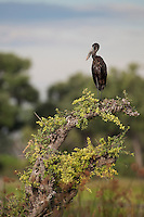African open-billed stork perched on a beautiful trunk in the Okavango delta