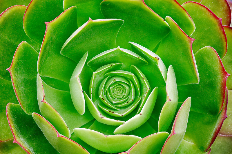 Close up of Aeonium urbicum v. rubra. Hughes Water Gardens, Oregon