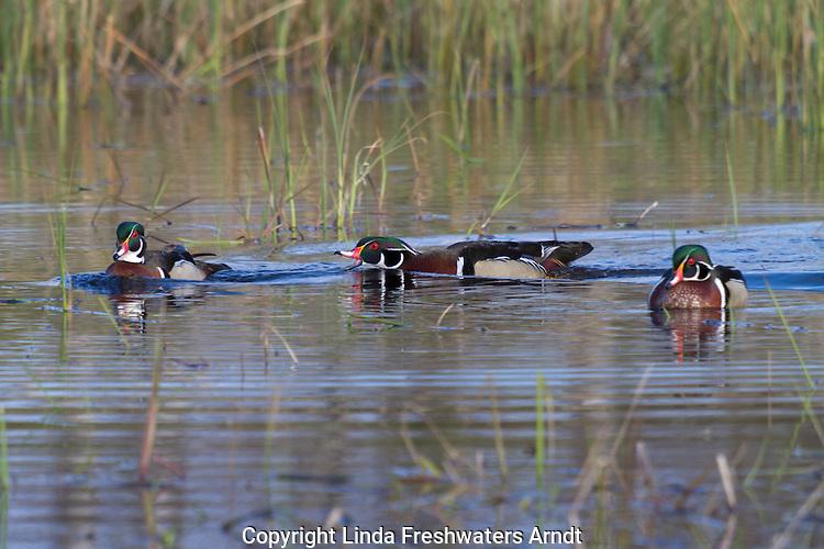 Drake wood duck chasing another drake