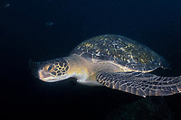 Green sea turtle (scientific name: Chelonia mydas), Galapagos archipelago, Ecuador, east Pacific Ocean