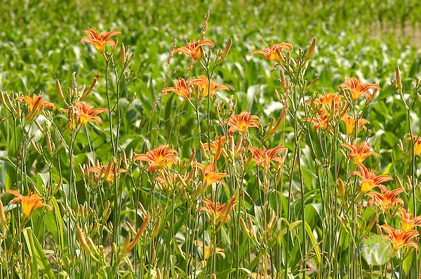 Tiger lilies with corn in background.
