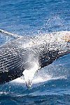Anacapa Island, Channel Islands National Park and National Marine Sanctuary, California; Humpback Whale (Megaptera novaeangliae) breaching out of the water , Copyright © Matthew Meier, matthewmeierphoto.com All Rights Reserved