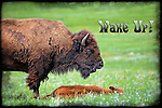 Inspirational photo of adult male bison standing over a young calf in Custer State Park, SD