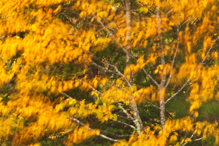 A vibrantly-colored beech tree shakes its leaves during autumn at The Wild Gardens of Acadia in Acadia National Park, Maine, USA