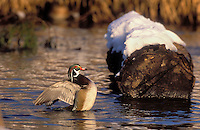 Wood Duck drake in spring snow..British Columbia, Canada..(Aix sponsa).