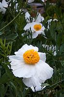 Romneya coulteri white flowering Matilija Poppy, California Tree Poppy