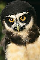 Brillenkauz, Brillen-Kauz, Portrait, Pulsatrix perspicillata, spectacled owl