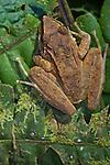 Map Treefrog (Hypsiboas geographicus).