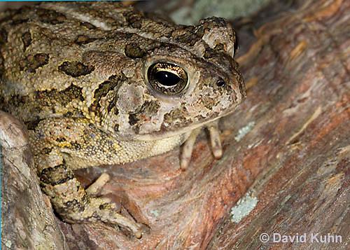 0602-0908  Fowler's Toad, Anaxyrus fowleri [syn: Bufo fowleri (Bufo woodhousii fowleri)]  © David Kuhn/Dwight Kuhn Photography