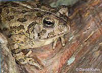 0602-0908  Fowler's Toad, Anaxyrus fowleri [syn: Bufo fowleri (Bufo woodhousii fowleri)]  © David Kuhn/Dwight Kuhn Photography