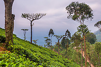 Photo of a tea plantation on a tea estate in Haputale, Nuwara Eliya District, Sri Lanka Hill Country, Asia. This is a photo of a tea plantation on a tea estate in Haputale, Nuwara Eliya District, Sri Lanka Hill Country, Asia.