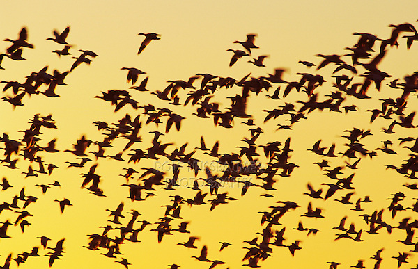 Snow Goose, Chen caerulescens, flock in flight at sunrise, Bosque del Apache National Wildlife Refuge , New Mexico, USA
