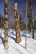 Snag (standing dead tree) in Unit 47 of the Kanc 7 Timber harvest project along the Kancamagus Scenic Byway (route 112) in the White Mountains, New Hampshire USA during the winter months